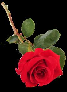 valentines single rose