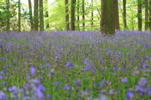 Wall murals - a beautiful field of bluebells stretches as far as the eye can see