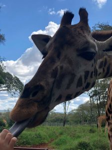 Kenya - A giraffe sticks his tongue out for food